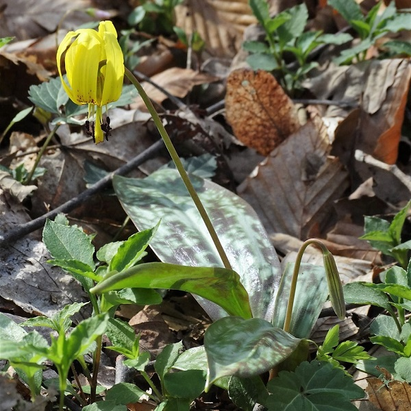 trout lily square